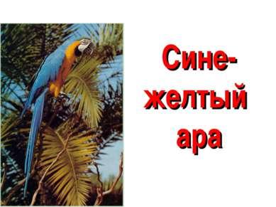 Сине-желтый ара