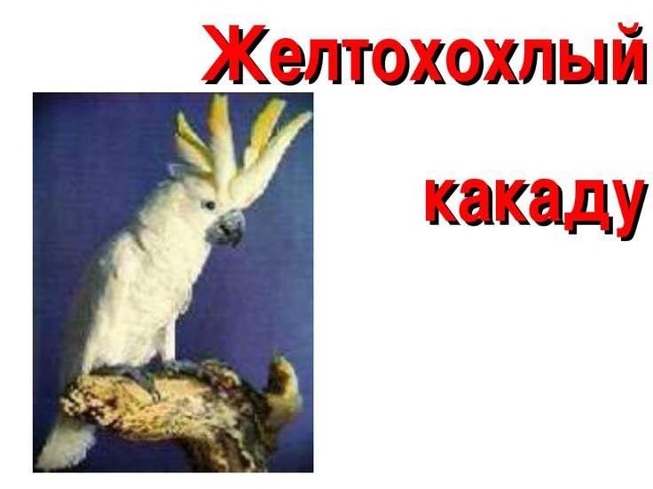 Желтохохлый какаду