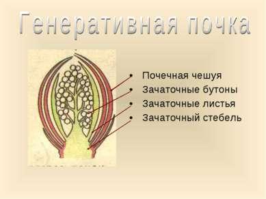 Почечная чешуя Зачаточные бутоны Зачаточные листья Зачаточный стебель