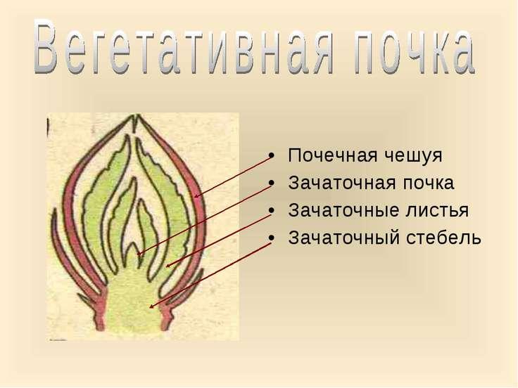 Почечная чешуя Зачаточная почка Зачаточные листья Зачаточный стебель