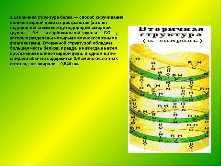 2.Вторичная структура белка — способ скручивания полипептидной цепи в простра...