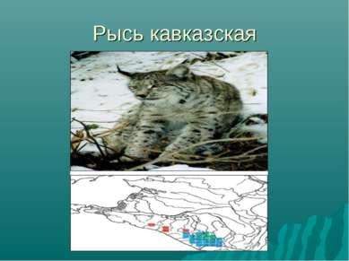 Рысь кавказская