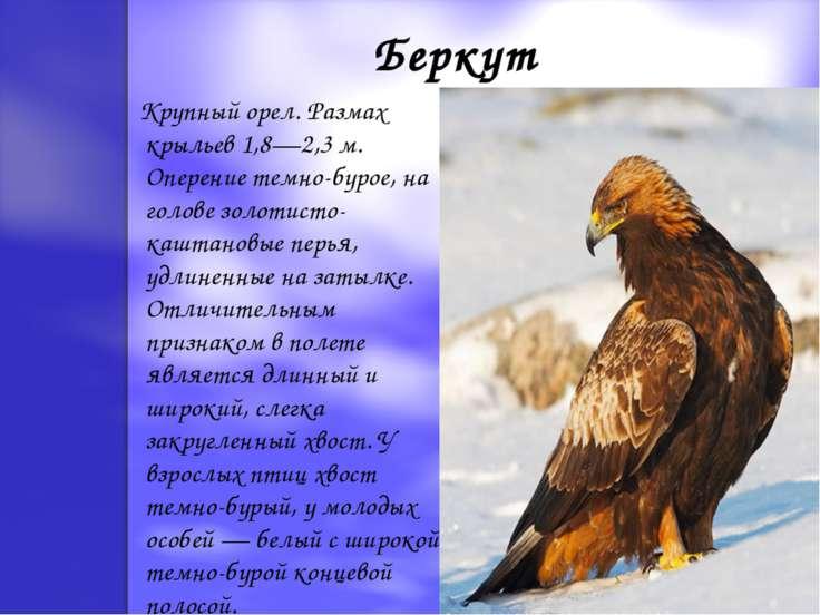 Беркут Крупный орел. Размах крыльев 1,8—2,3 м. Оперение темно-бурое, на голов...
