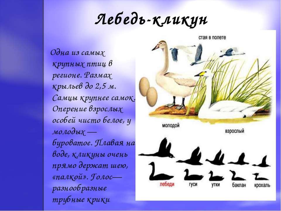 Лебедь-кликун Одна из самых крупных птиц в регионе. Размах крыльев до 2,5 м. ...