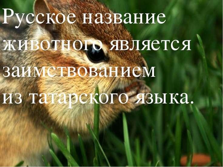 Русское название животного является заимствованием изтатарского языка.