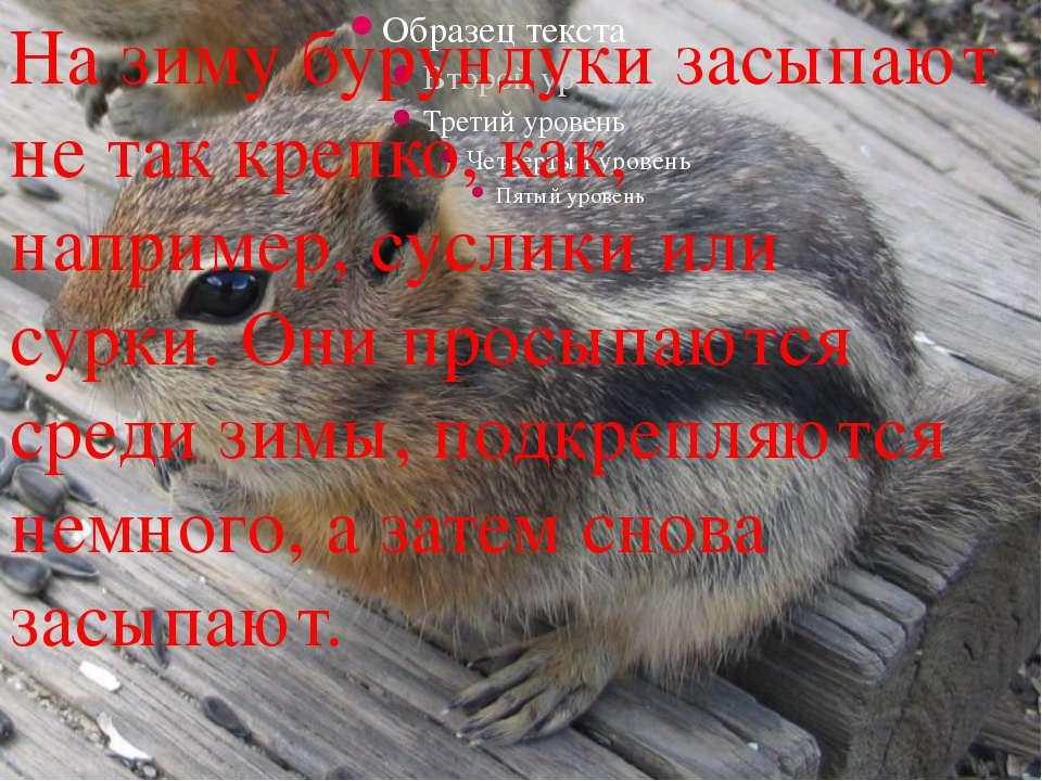 На зиму бурундуки засыпают не так крепко, как, например,сусликиили сурки. ...