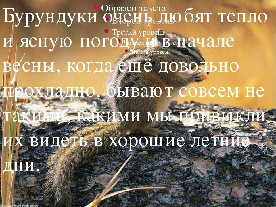 Бурундуки очень любят тепло и ясную погоду и в начале весны, когда ещё доволь...