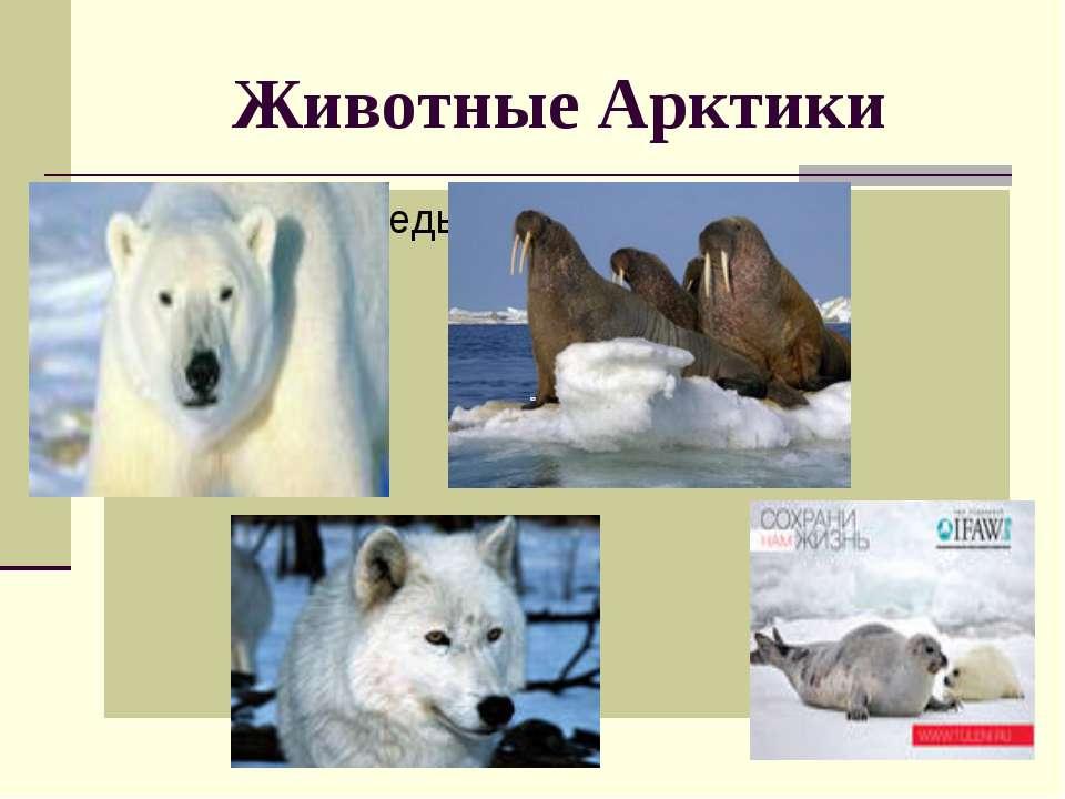 Животные Арктики белый медведь