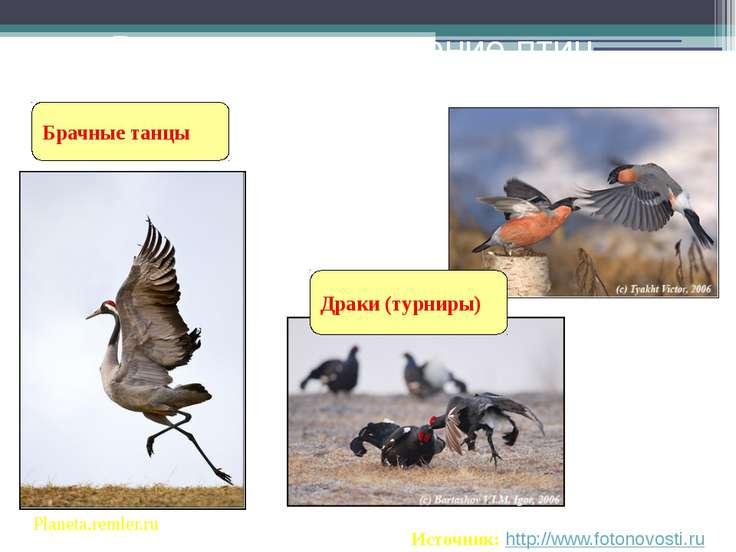 Брачные танцы Ритуальное поведение птиц Planeta.remler.ru Источник: http://ww...