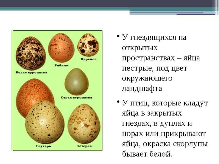 Разнообразие формы и цвета яиц У гнездящихся на открытых пространствах – яйца...