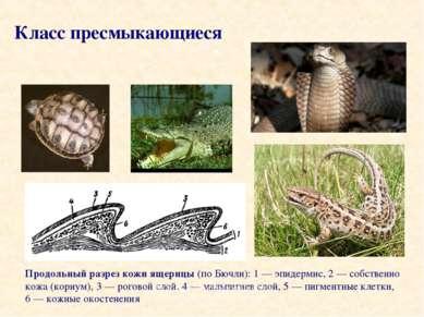 Продольный разрез кожи ящерицы (по Бючли): 1 — эпидермис, 2 — собственно кожа...
