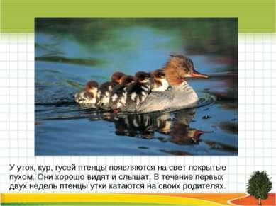 У уток, кур, гусей птенцы появляются на свет покрытые пухом. Они хорошо видят...