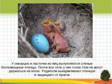 У скворцов и ласточек из яиц вылупляются слепые беспомощные птенцы. Почти все...