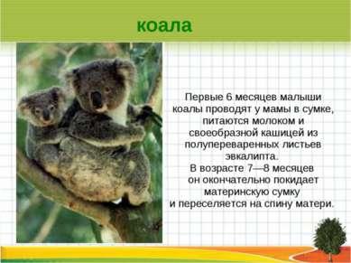 Первые 6 месяцев малыши коалы проводят у мамы в сумке, питаются молоком и сво...