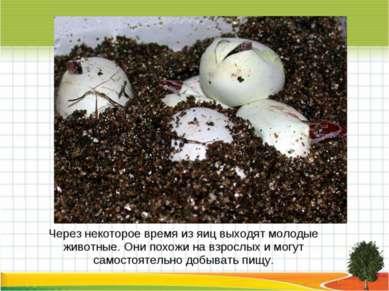 Через некоторое время из яиц выходят молодые животные. Они похожи на взрослых...