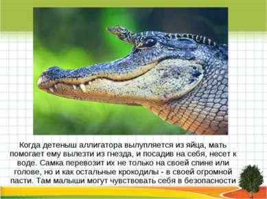 Когда детеныш аллигатора вылупляется из яйца, мать помогает ему вылезти из гн...