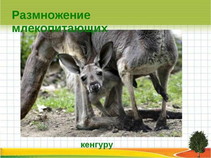 Размножение млекопитающих кенгуру