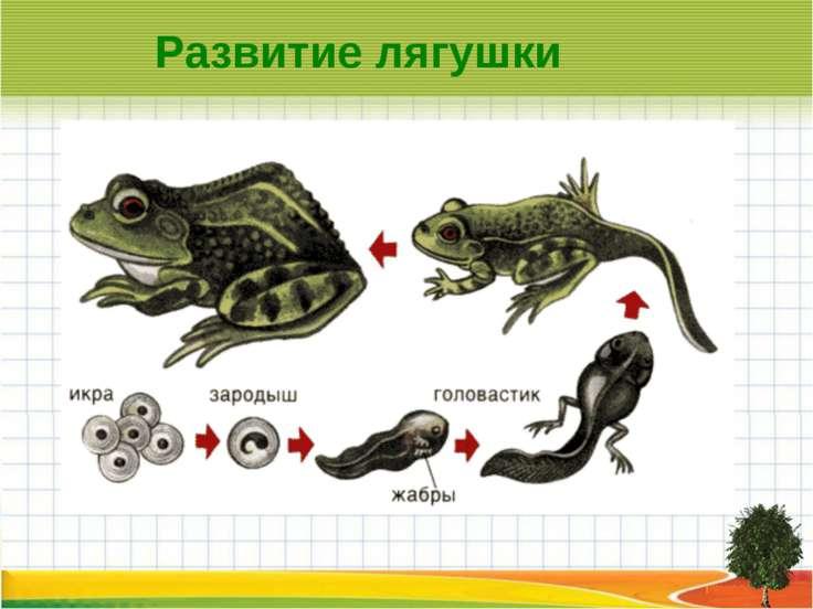 Развитие лягушки