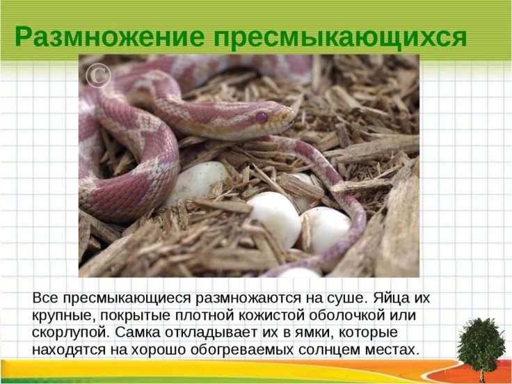 Размножение пресмыкающихся Все пресмыкающиеся размножаются на суше. Яйца их к...