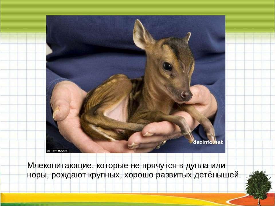 Млекопитающие, которые не прячутся в дупла или норы, рождают крупных, хорошо ...