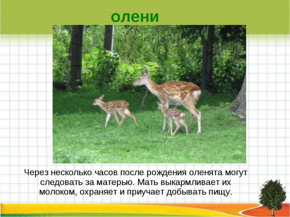 Через несколько часов после рождения оленята могут следовать за матерью. Мать...