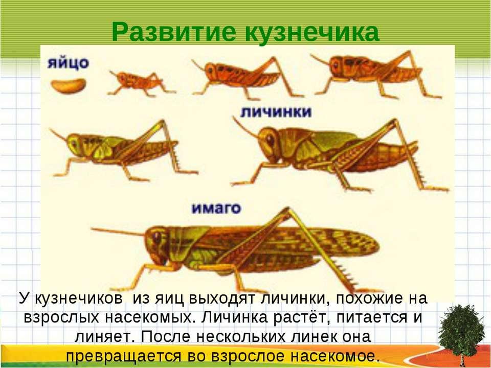 Развитие кузнечика У кузнечиков из яиц выходят личинки, похожие на взрослых н...