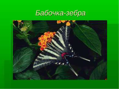 Бабочка-зебра