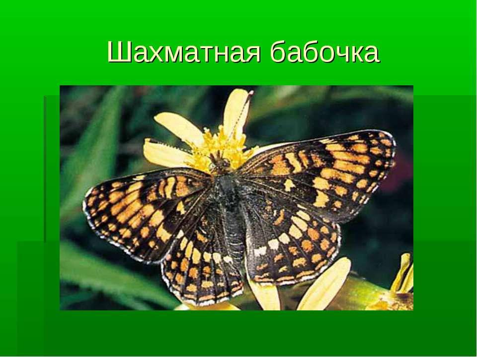 Шахматная бабочка