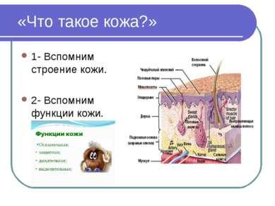 «Что такое кожа?» 1- Вспомним строение кожи. 2- Вспомним функции кожи.