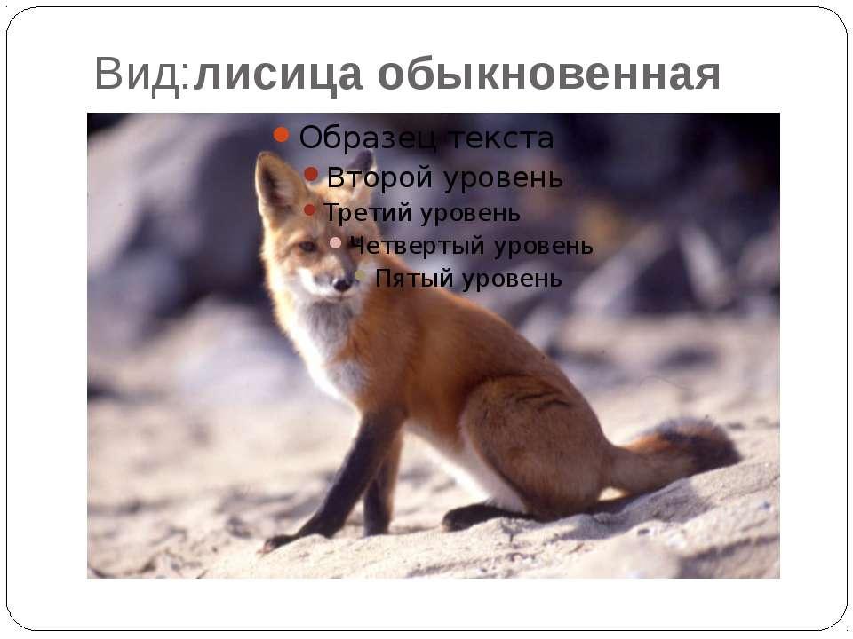 Вид:лисица обыкновенная