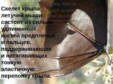 Скелет крыла летучей мыши состоит из сильно удлиненных костей предплечья и па...
