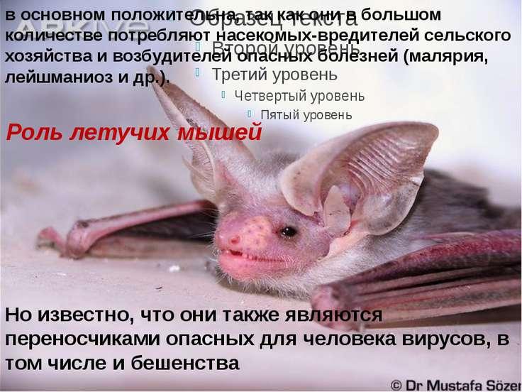 Роль летучих мышей Но известно, что они также являются переносчиками опасных ...