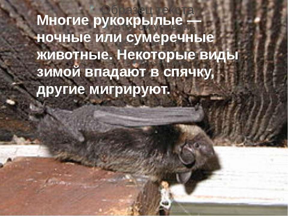 Многие рукокрылые — ночные или сумеречные животные. Некоторые виды зимой впад...