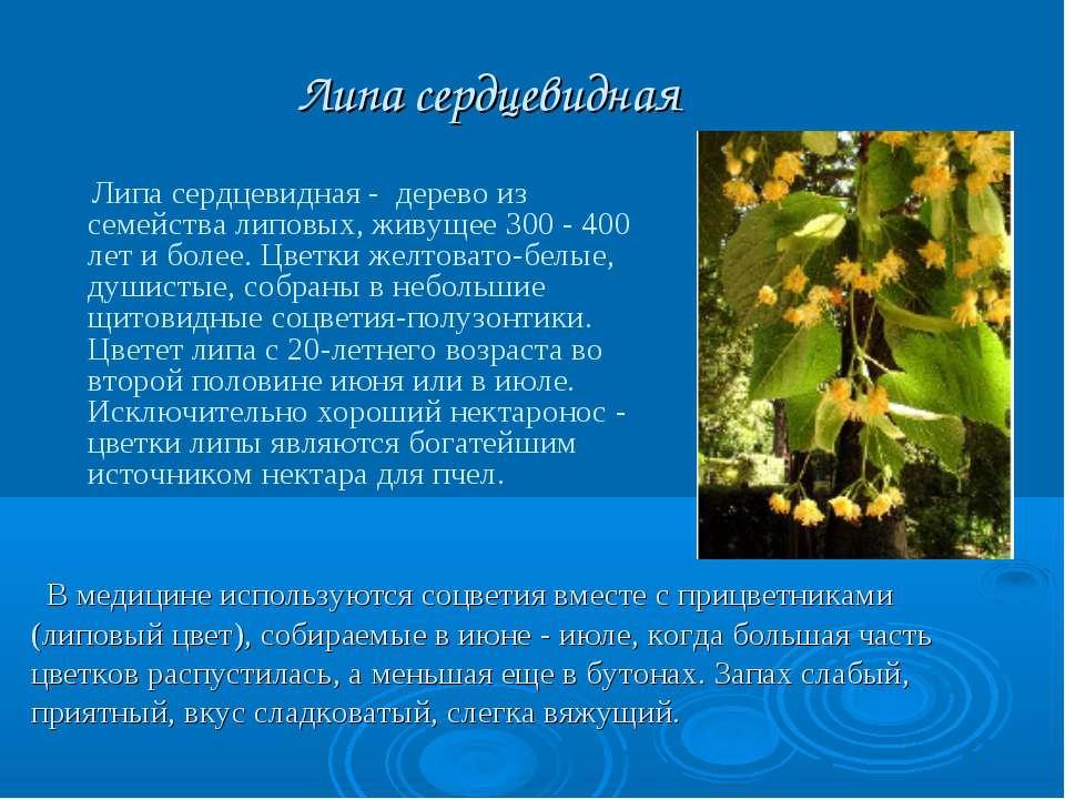 Липа сердцевидная Липа сердцевидная - дерево из семейства липовых, живущее 30...