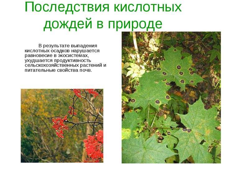 Последствия кислотных дождей в природе В результате выпадения кислотных осадк...