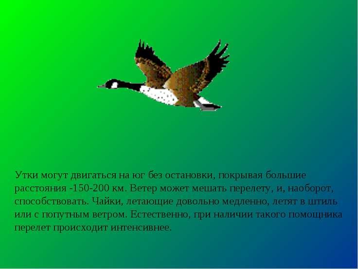 Утки могут двигаться на юг без остановки, покрывая большие расстояния -150-20...