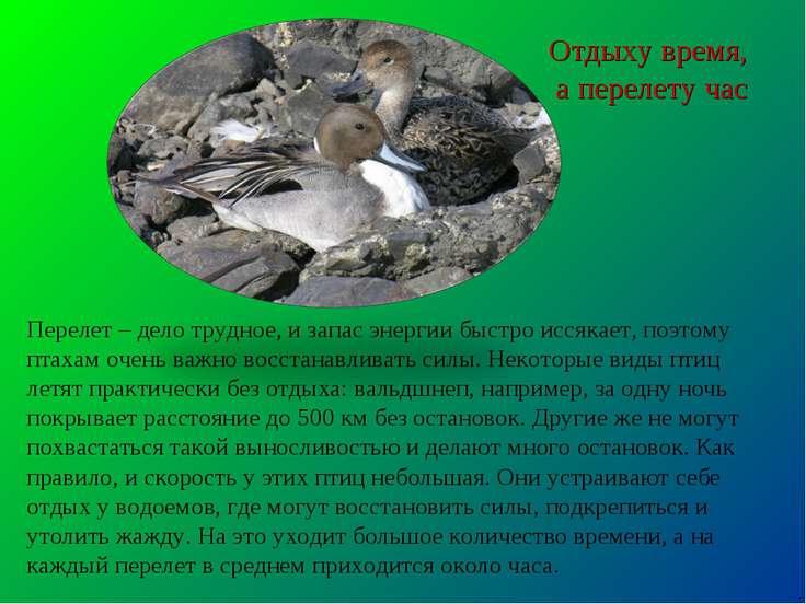 Перелет – дело трудное, и запас энергии быстро иссякает, поэтому птахам очень...
