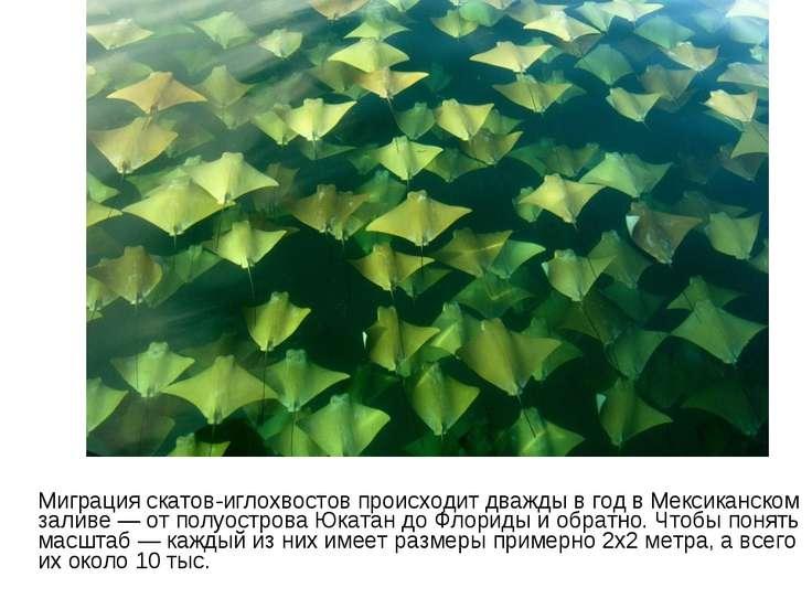 Миграция скатов-иглохвостов происходит дважды в год в Мексиканском заливе — о...