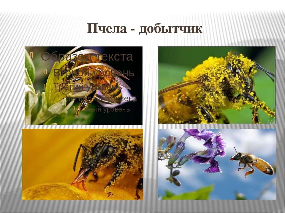 Пчела - добытчик