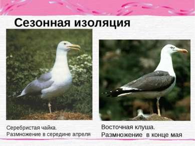 Сезонная изоляция Серебристая чайка. Размножение в середине апреля Восточная ...