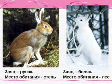 Заяц – беляк. Место обитания - лес Заяц – русак. Место обитания - степь