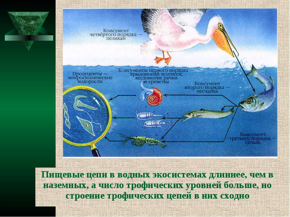 Пищевые цепи в водных экосистемах длиннее, чем в наземных, а число трофически...