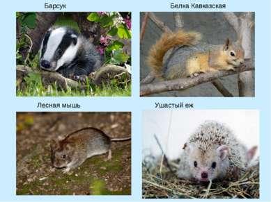 Барсук Белка Кавказская Лесная мышь Ушастый еж