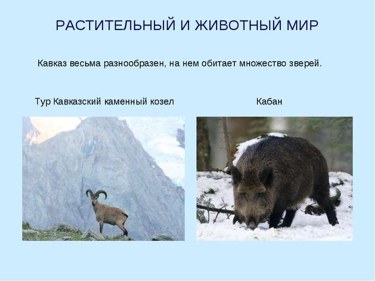 РАСТИТЕЛЬНЫЙ И ЖИВОТНЫЙ МИР Кавказ весьма разнообразен, на нем обитает множес...