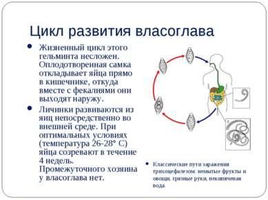 Цикл развития власоглава Жизненный цикл этого гельминта несложен. Оплодотворе...