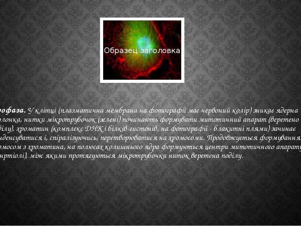 Профаза. У клітці (плазматична мембрана на фотографії має червоний колір) зни...