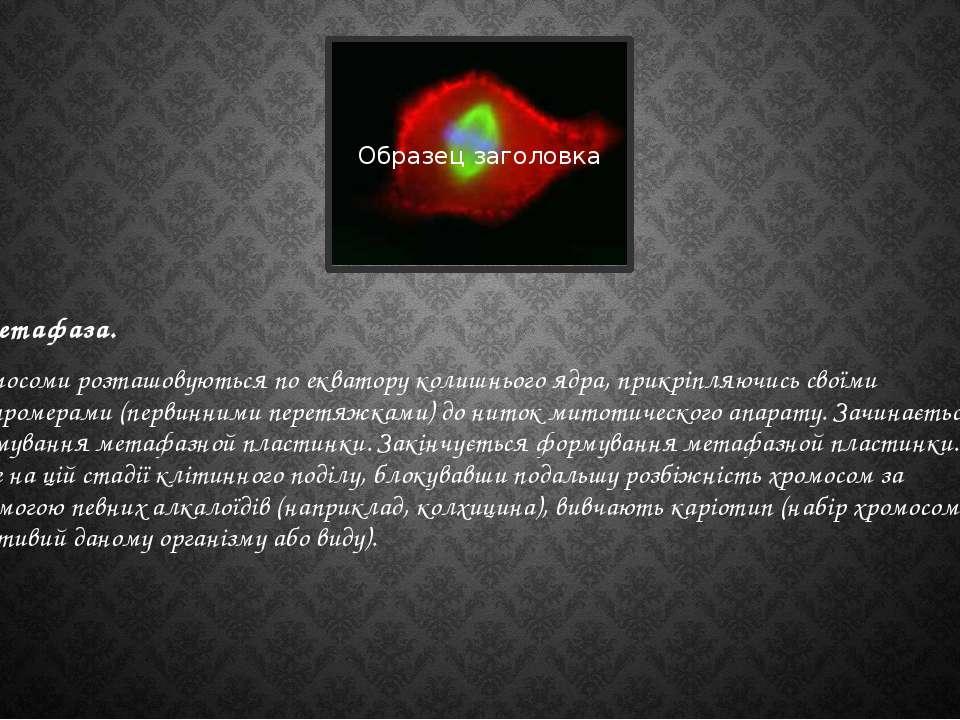 Метафаза. Хромосоми розташовуються по екватору колишнього ядра, прикріпляючис...