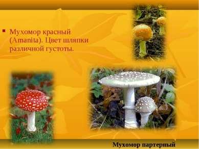Мухомор красный (Amanita). Цвет шляпки различной густоты. Мухомор партерный