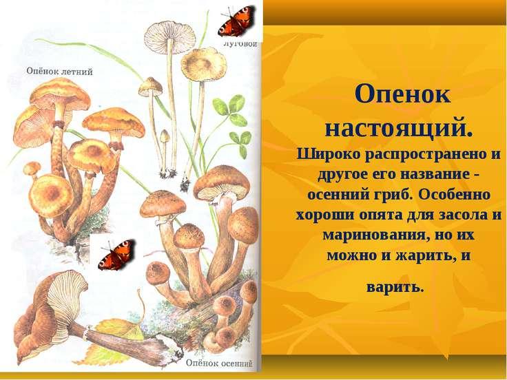 Опенок настоящий. Широко распространено и другое его название - осенний гриб....