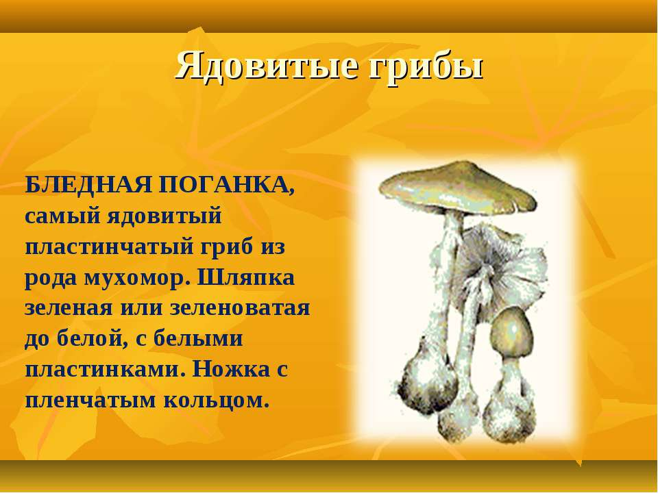 Ядовитые грибы БЛЕДНАЯ ПОГАНКА, самый ядовитый пластинчатый гриб из рода мухо...